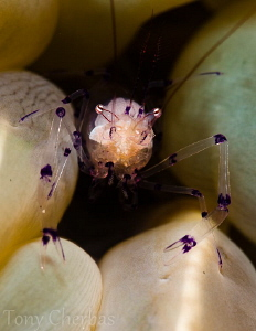 Bubble Coral Shrimp with + 10 Subsee diopter by Tony Cherbas 